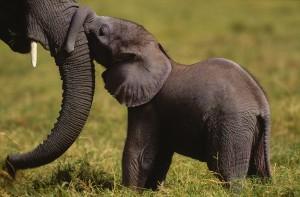 African savanna elephant (Loxodonta africana africana); Amboseli National Park, Kenya