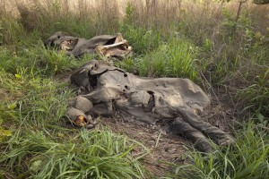 Elephant slaughter, Cameroon