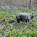 Młody nosorożec indyjski z matką (c) WWF Indie