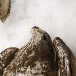 Otrucie ptaków - martwe myszołowy zwyczajne, pow. biłgorajski, województwo lubelskie