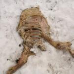 Otrucie ptaków - martwe myszołowy zwyczajne, pow. biłgorajski, województwo lubelskie świnia