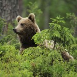 Eurasian brown bear, Suomussalmi, Finland