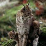 Eurasian lynx (Lynx lynx); Bayerischer Wald National Park, Bavaria, Germany