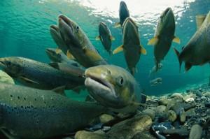 Atlantic salmon, Canada
