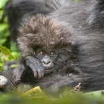 Mountain gorilla mother and baby, Virunga mountains, Rwanda, Africa