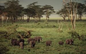 African savanna elephant (Loxodonta africana africana); Ngorongoro Conservation Area, Tanzania
