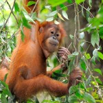 Young orang utan, Jambi, Sumatra, Indonesia