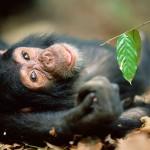 Chimpanzee, Gombe NP, Tanzania