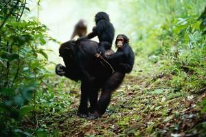 Chimpanzee, Kasekela community, Gombe NP, Tanzania