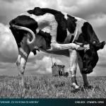 co ma krowa do wiatraka