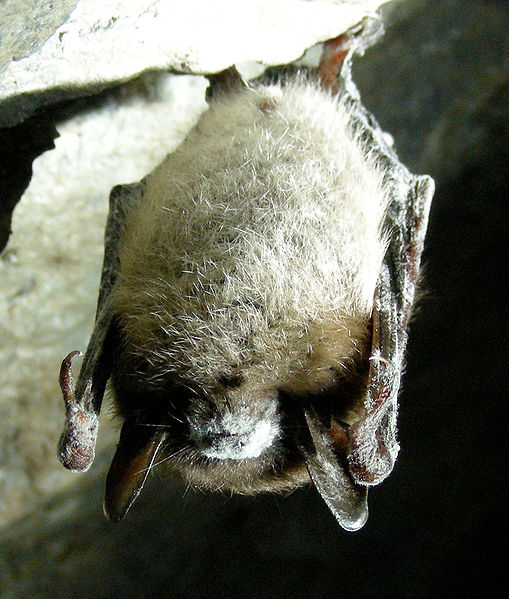 509px-Little_Brown_Bat_with_White_Nose_Syndrome_(Greeley_Mine,_cropped)