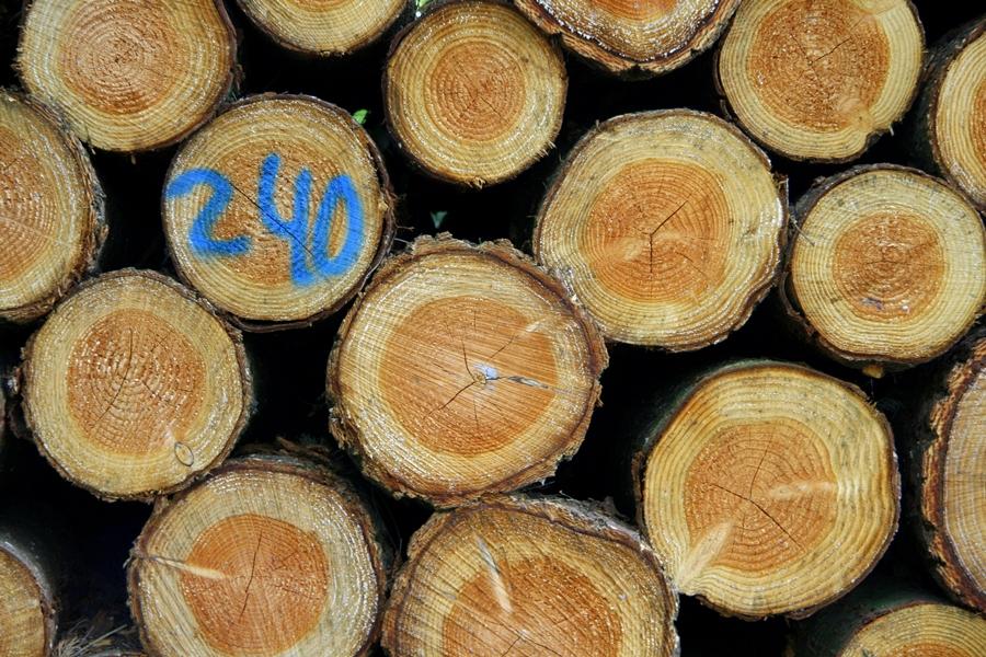 drzewoociete2