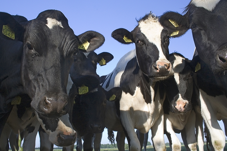 krowa2