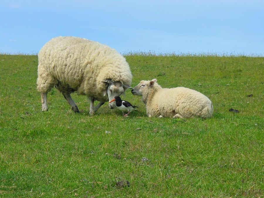 owce2
