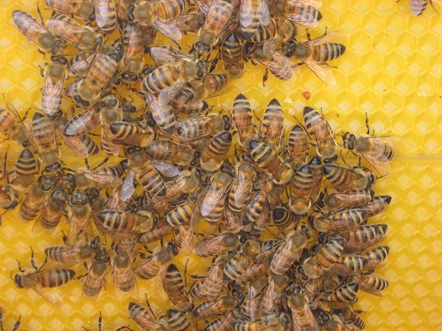 pszczo3y2